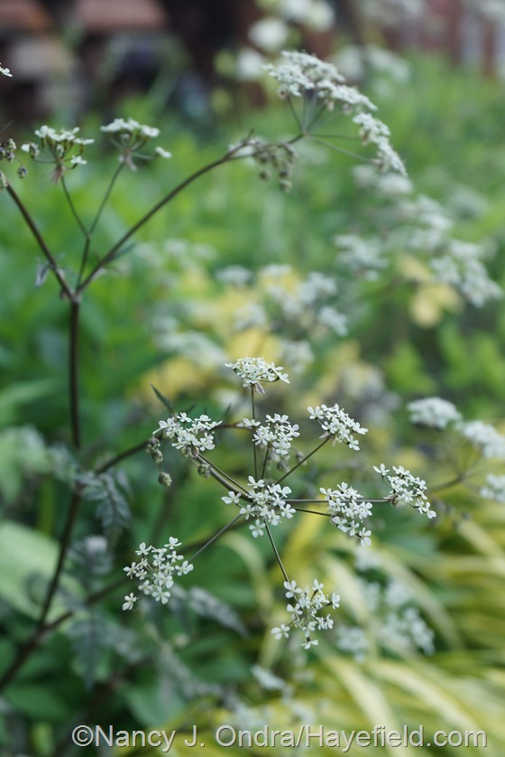 'Ravenswing' cow parsley (Anthriscus sylvestris) at Hayefield.com