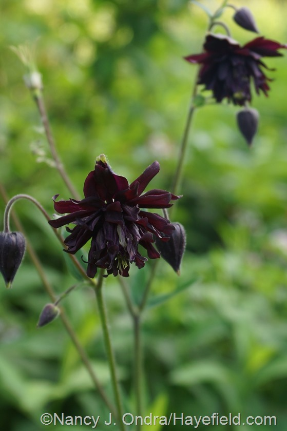 Black columbine (Aquilegia) at Hayefield.com