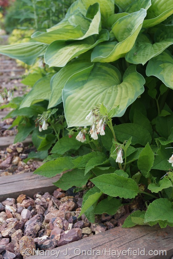 Dwarf comfrey (Symphytum grandiflorum) with hosta at Hayefield.com