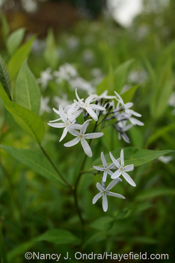 Amsonia rigida at Hayefield.com