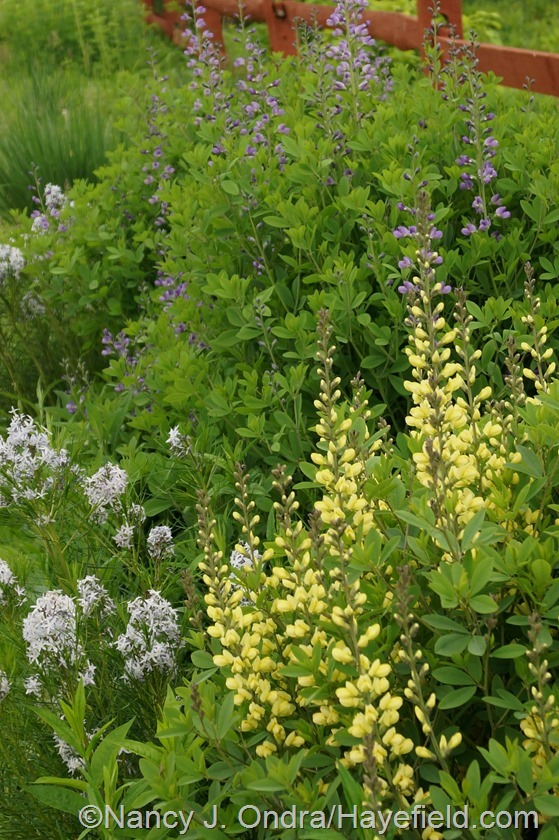 Amsonia hubrichtii with Baptisia 'Carolina Moonlight' and 'Purple Smoke' at Hayefield.com