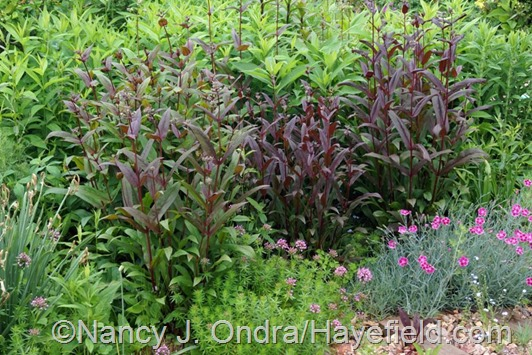 Penstemon 'Dark Towers' (center) with its seedlings at Hayefield.com