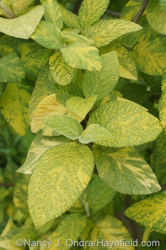 Viburnum lantana 'Variegata' at Hayefield.com