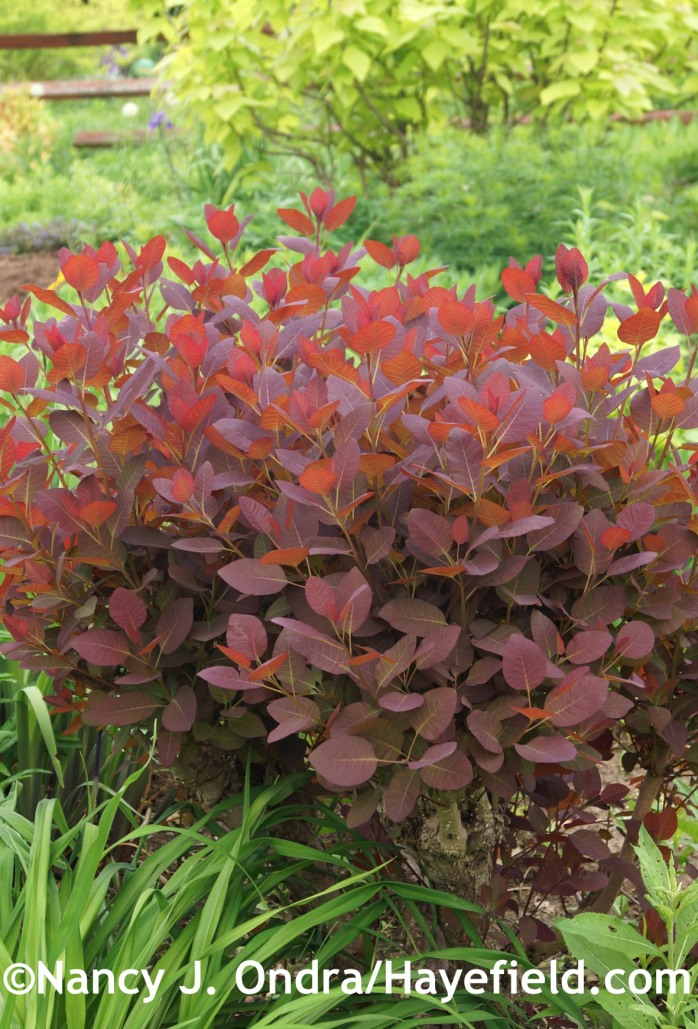 Cotinus 'Grace' in late May, about a month after the first cut-back, at Hayefield.com