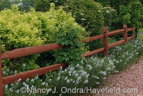 Amsonia hubrichtii and viburnums at Hayefield.com