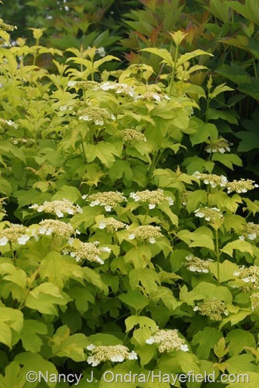 Viburnum opulus 'Aureum' at Hayefield.com