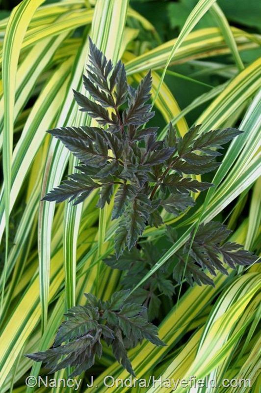 'Ravenswing' cow parsley (Anthriscus sylvestris) with golden Hakone grass (Hakonechloa macra 'Aureola') at Hayefield.com