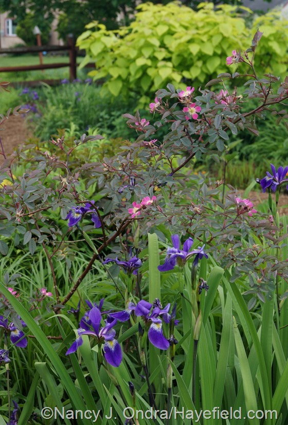 Iris x robusta 'Gerald Darby' with blue-leaved rose (Rosa glauca) against golden catalpa (Catalpa bignonioides 'Aurea') at Hayefield.com