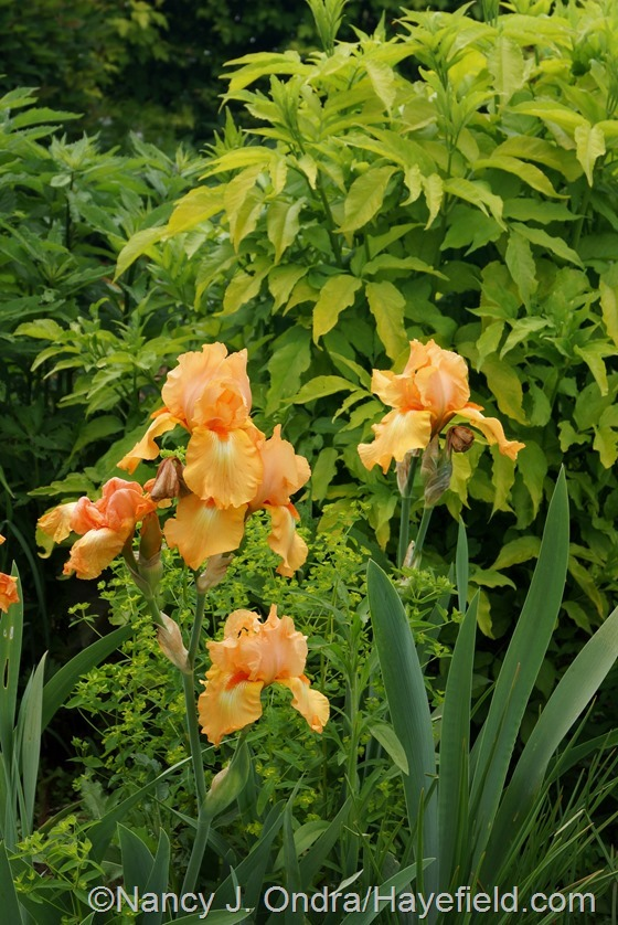 Orange bearded iris with 'Golden Foam' euphorbia and golden elderberry (Sambucus nigra 'Aurea') at Hayefield.com