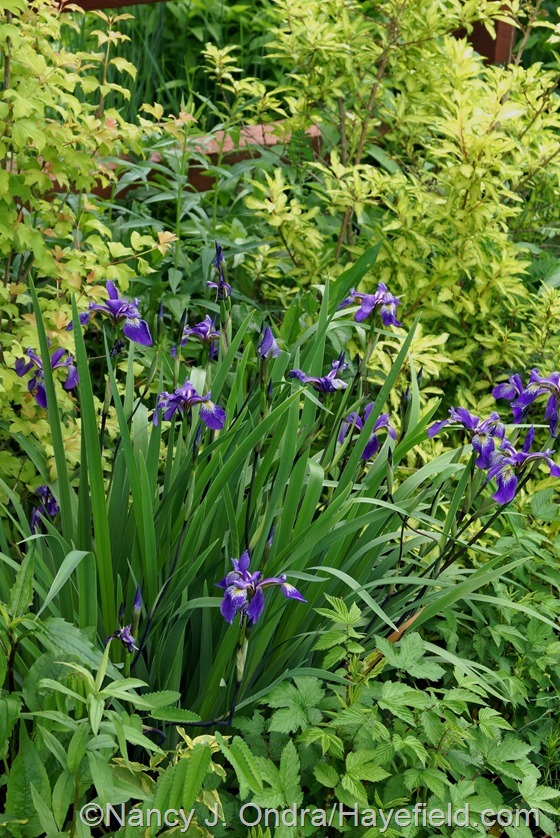 Iris x robusta 'Gerald Darby' with 'Fiesta' forsythia and golden elderberry (Viburnum opulus 'Aureum') at Hayefield.com
