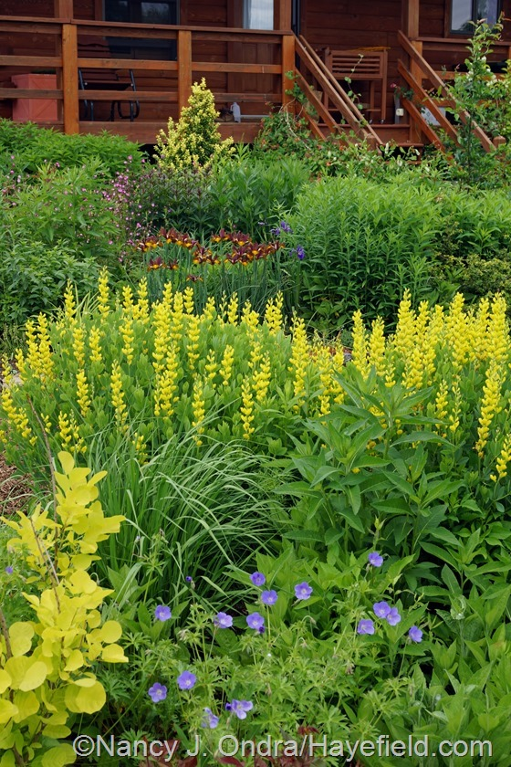 Baptisia sphaerocarpa 'Screaming Yellow' in the side garden at Hayefield.com