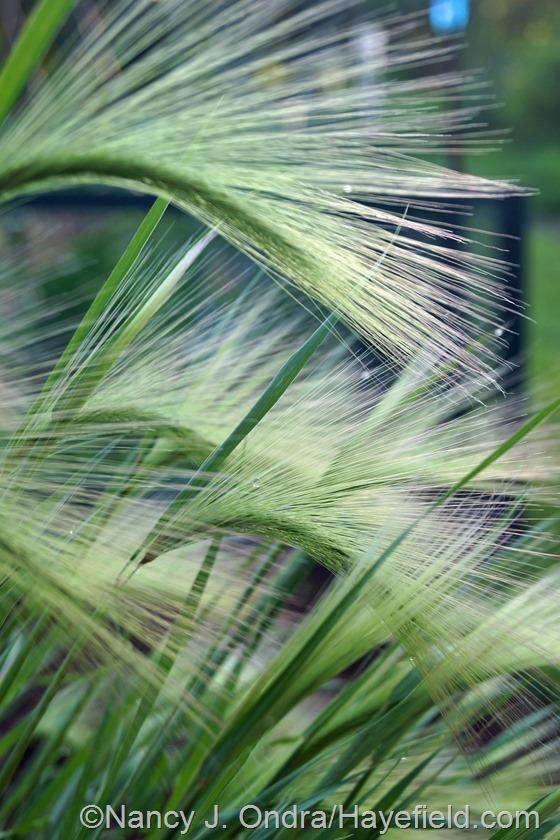 Foxtail barley (Hordeum jubatum) at Hayefield.com