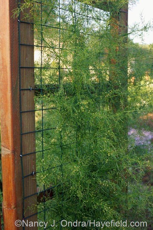 Climbing asparagus (Asparagus verticillatus) at Hayefield.com