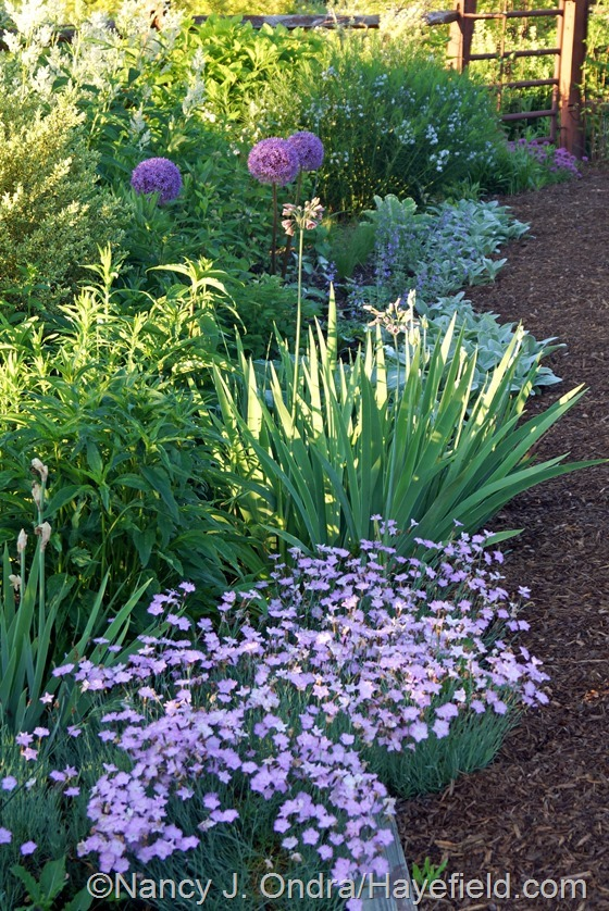 Dianthus 'Bath's Pink' and Allium 'Gladiator' at Hayefield.com