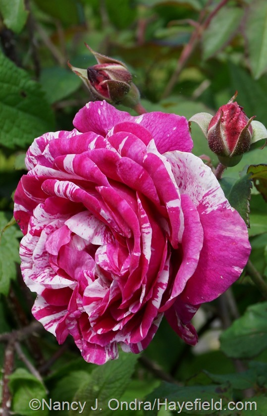 'Moore's Striped Rugosa' rose at Hayefield.com