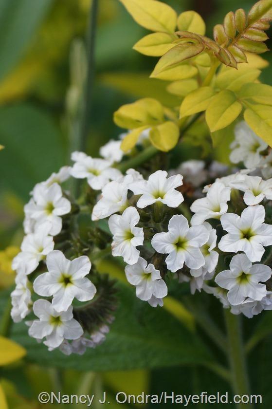White heliotrope (Heliotropium arborescens 'Alba') with Fiona Sunrise jasmine (Jasminum officinalis 'Frojas')