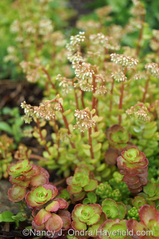 'Athoun' white stonecrop (Sedum album) with 'Elizabeth' two-row sedum (S. spurium) at Hayefield.com