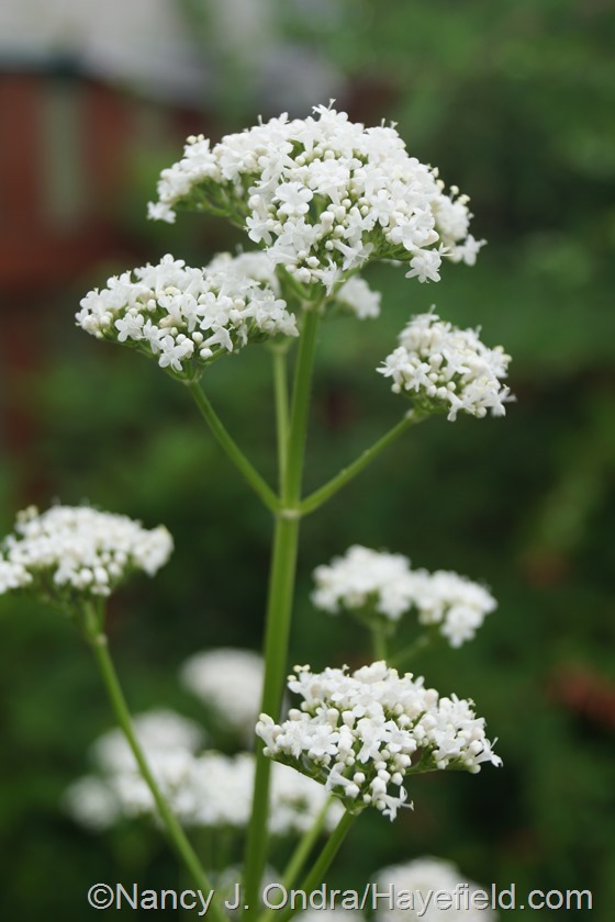 Valerian (Valeriana officinalis) at Hayefield.com