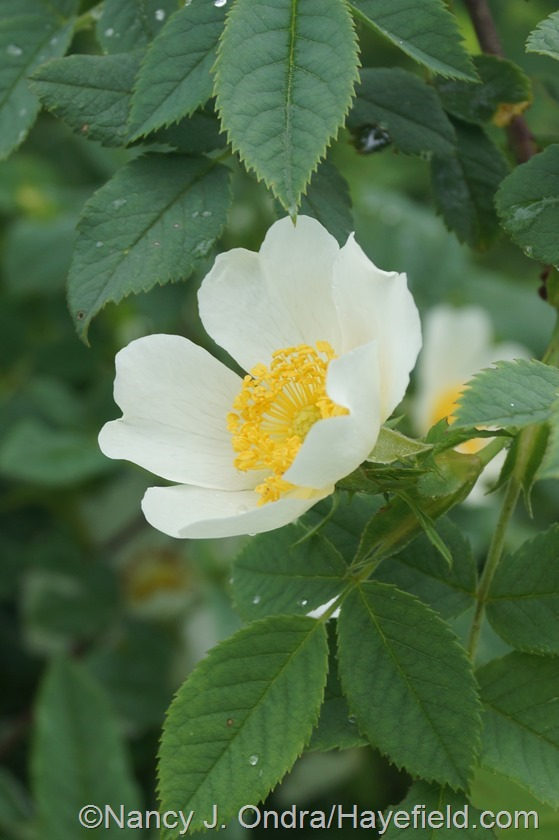 Rosa achburensis at Hayefield.com