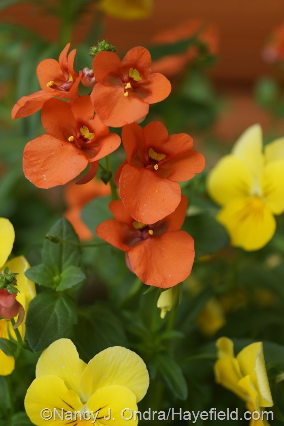 Flirtation Orange twinspur (Diascia 'Dala Oran') at Hayefield.com