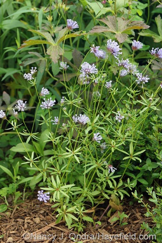 Blue woodruff (Asperula orientalis) at Hayefield.com