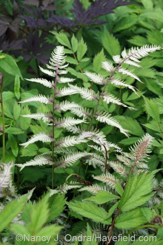 Athyrium 'Pewter Lace' with Astilbe chinensis var. pumila at Hayefield.com