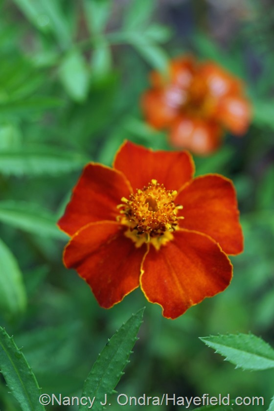 Tagetes 'Cinnabar' marigold at Hayefield.com