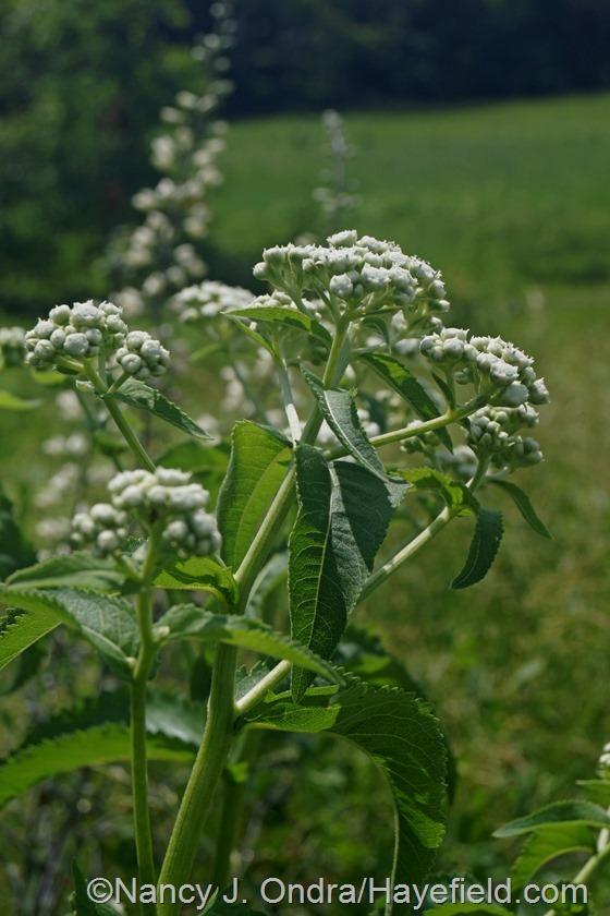 Wild quinine (Parthenium integrifolium) at Hayefield.com