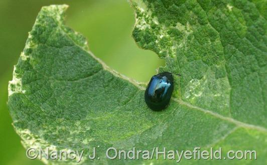 Imported willow leaf beetle (Plagiodera versicolora) on Salix cinerea 'Variegata' at Hayefield.com