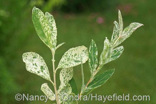 Salix cinerea 'Variegata' on left and Salix integra 'Hakuro Nishiki' on right at Hayefield.com