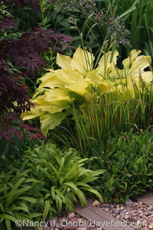 Hosta 'Sun Power' with Imperata cylindrica 'Rubra', Persicaria affine, Carex plantaginea, Acer palmatum, and Rosa glauca at Hayefield.com