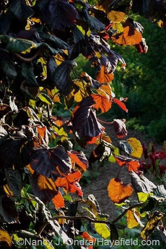 Corylus avellana 'Red Majestic' at Hayefield.com