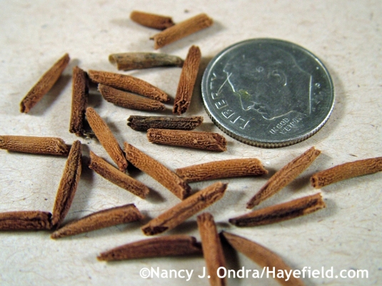 Amsonia rigida seeds at Hayefield.com