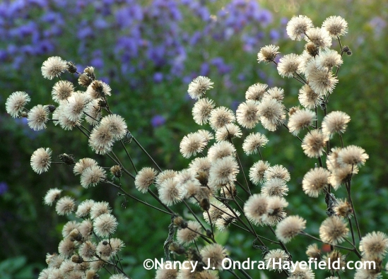 Vernonia seedheads at Hayefield.com