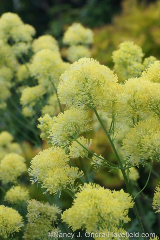 Yellow meadow rue (Thalictrum flavum subsp. glaucum) [June 24, 2014] at Hayefield.com
