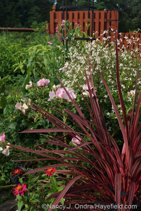 Electric Pink cordyline (Cordyline banksii) with 'Profusion Cherry' zinnia, 'Frau Dagmar' rose (Rosa rugosa), and American ipecac (Porteranthus stipulatus) [June 27, 2014] at Hayefield.com
