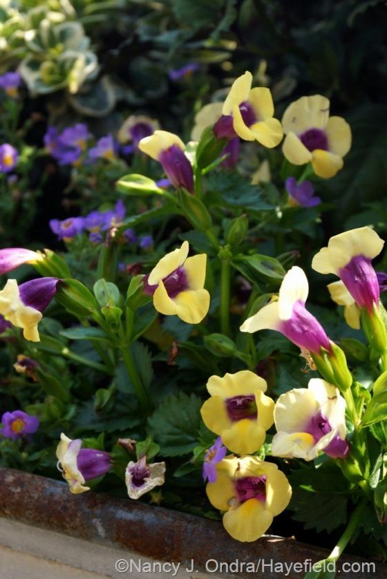 Catalina Gilded Grape wishbone flower (Torenia) [June 27, 2014] at Hayefield.com