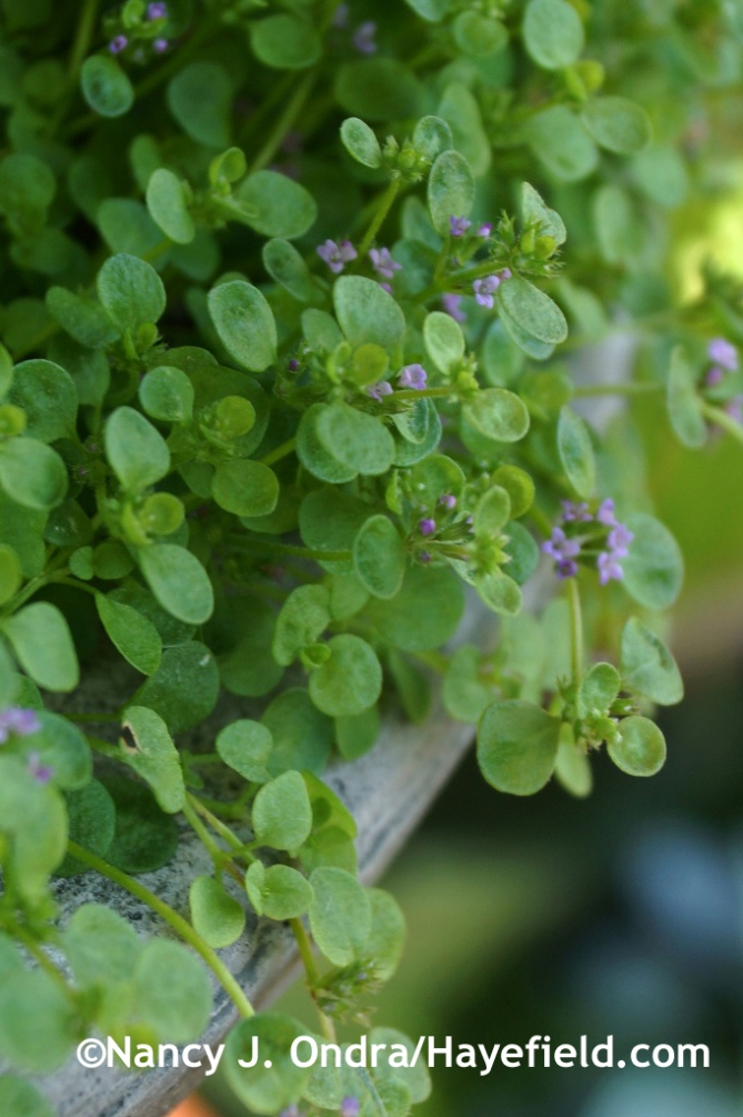 Corsican mint (Mentha requienii) [June 30, 2014] at Hayefield.com