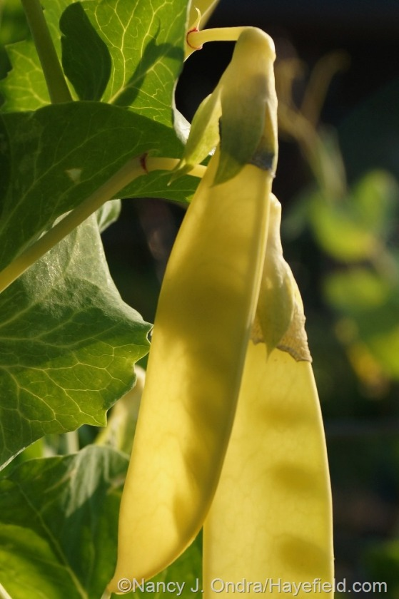 'Golden Sweet' snow pea (Pisum sativum) [June 27. 2014] at Hayefield.com