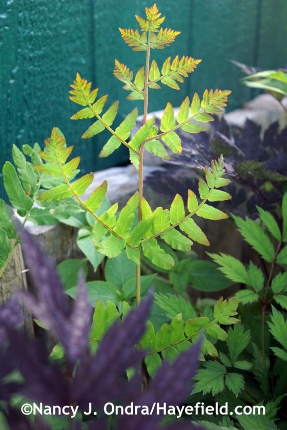 Purple royal fern (Osmunda regalis 'Purpurascens') [July 7, 2014] at Hayefield.com
