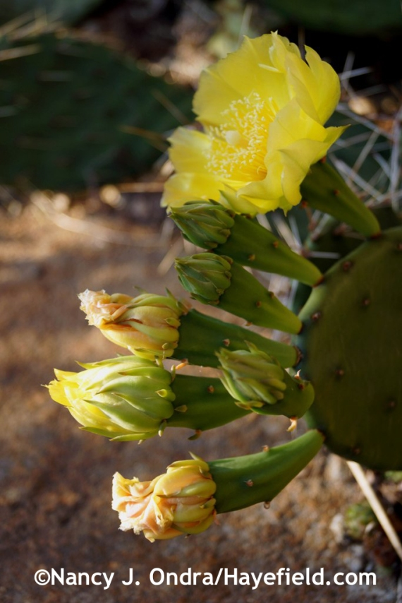 Eastern prickly pear (Opuntia humifusa) [June 27, 2014] at Hayefield.com