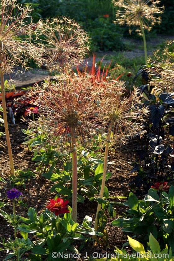 Star of Persia (Allium christophii) seedheads in the Courtyard Garden [June 24, 2014] at Hayefield.com