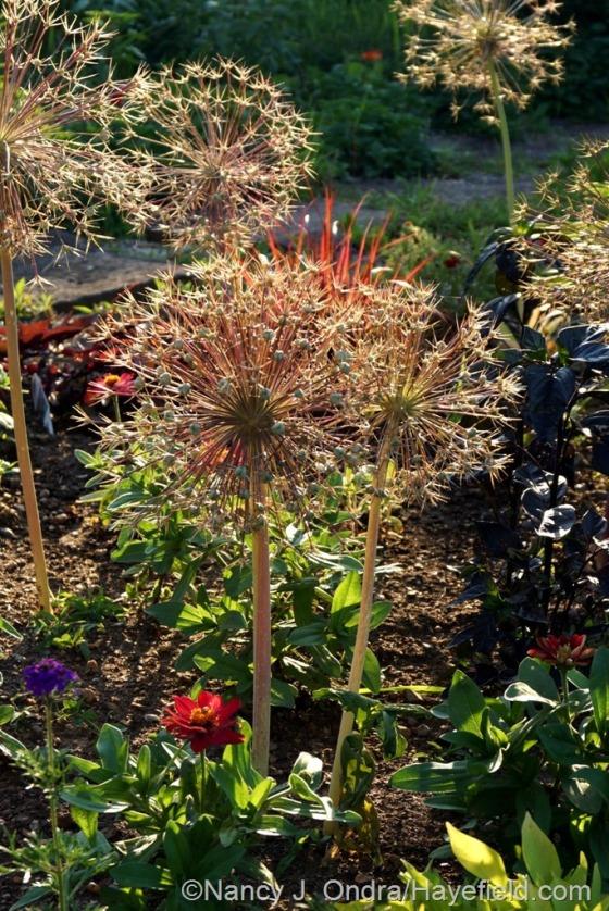 Star of Persia (Allium christophii) seedheads in the Courtyard Garden [June 24, 2014] at Hayefield.com