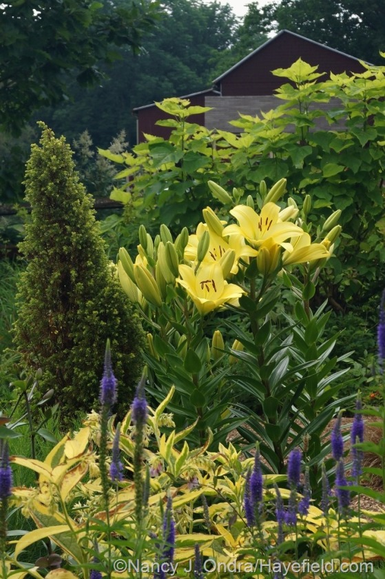 'Freya' lily (Lilium) with heart-leaved speedwell (Veronica grandis), 'Axminster Gold' comfrey (Symphytum x uplandicum), 'Gold Cone' juniper (Juniperus communis), and golden catalpa (Catalpa bignonioides 'Aurea') [June 25, 2014] at Hayefield.com