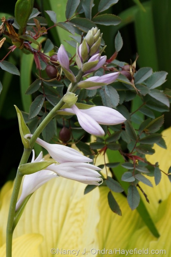 'Sun Power' hosta with blue-leaved rose (Rosa glauca) [June 25, 2014] at Hayefield.com
