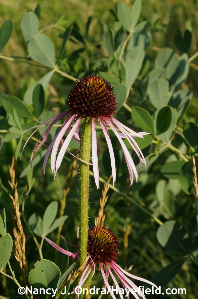 Pale coneflower (Echinacea pallida) in the meadow [June 29, 2014] at Hayefield.com