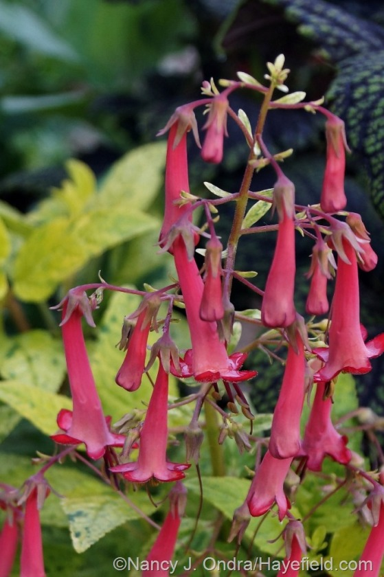 'Lemon Spritzer' cape fuchsia (Phygelius x rectus) [July 1, 2014] at Hayefield.com