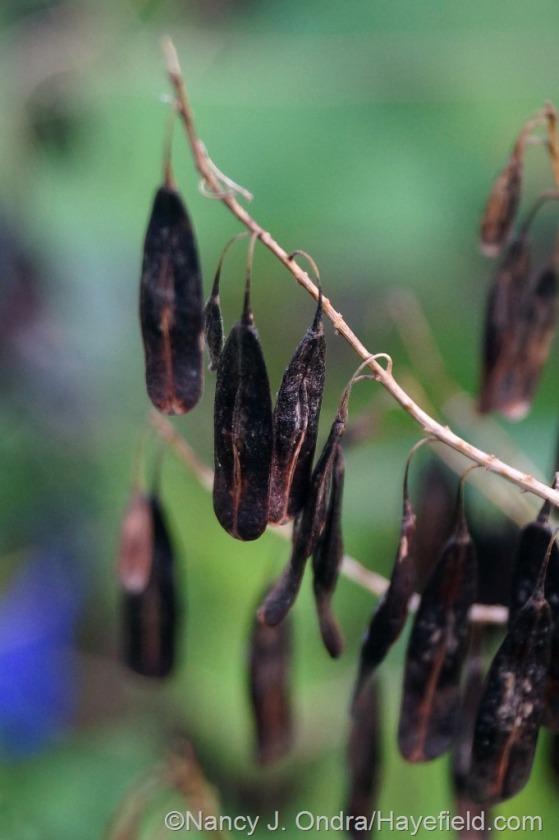 Dyer's woad (Isatis tinctoria) seeds [July 1, 2014] at Hayefield.com