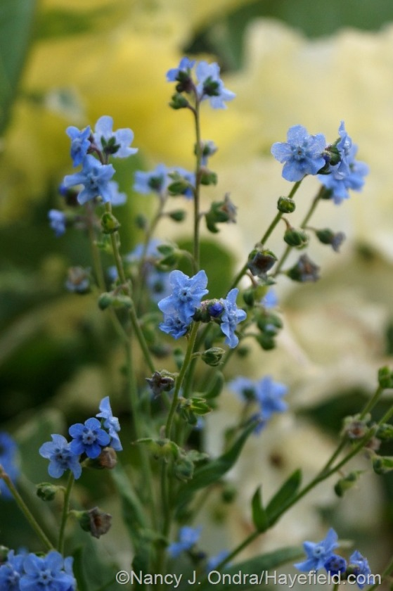 Chinese forget-me-not (Cynoglossum amabile) [July 1, 2014] at Hayefield.com