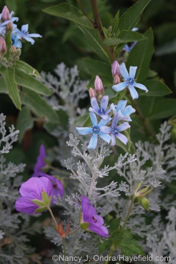 Tweedia (Tweedia caerulea) with Rozanne geranium 9Geranium 'Gerwat') and 'Parfum d'Ethiopia' wormwood (Artemisia) [July 1, 2014] at Hayefield.com